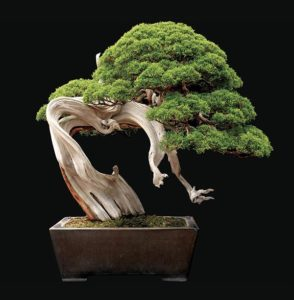 cay bach bonsai